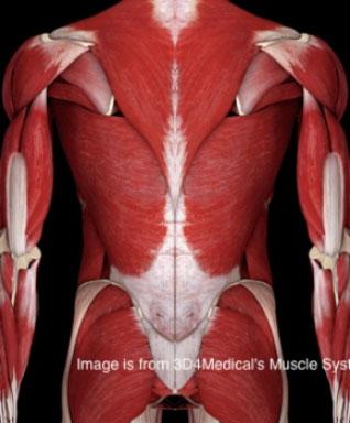 Trivia anatomique
