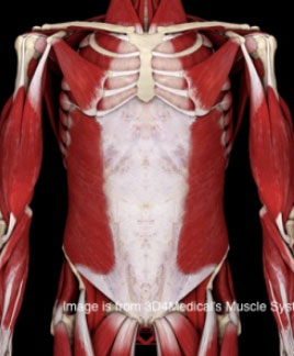Douleur au muscle de l'oblique externe
